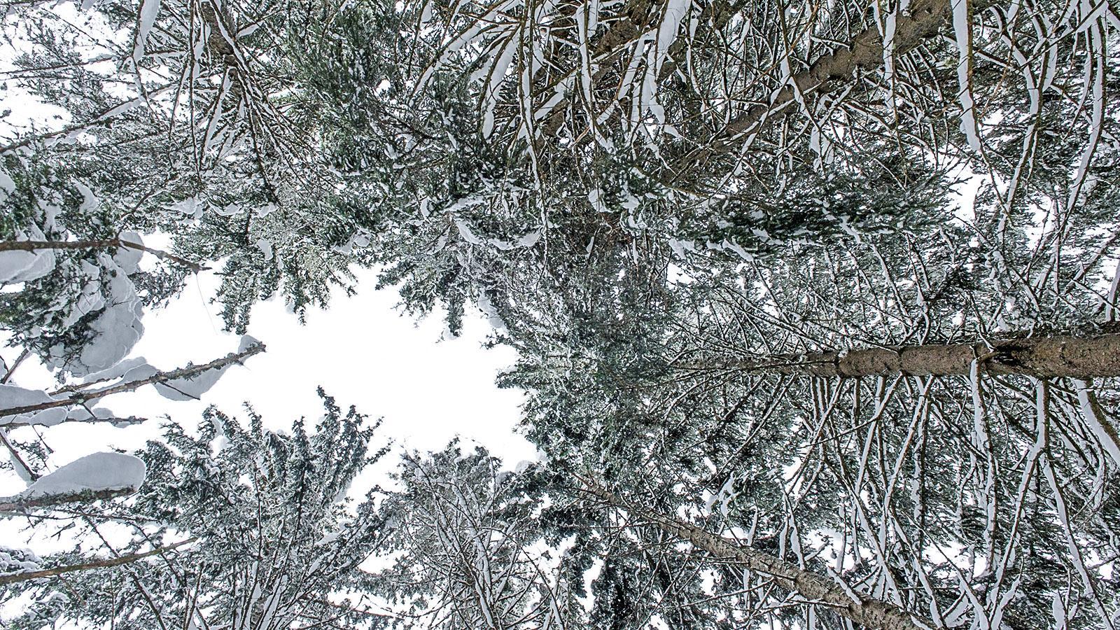 Schneetannen am Mont-Caly. Foto: Hilke Maunder