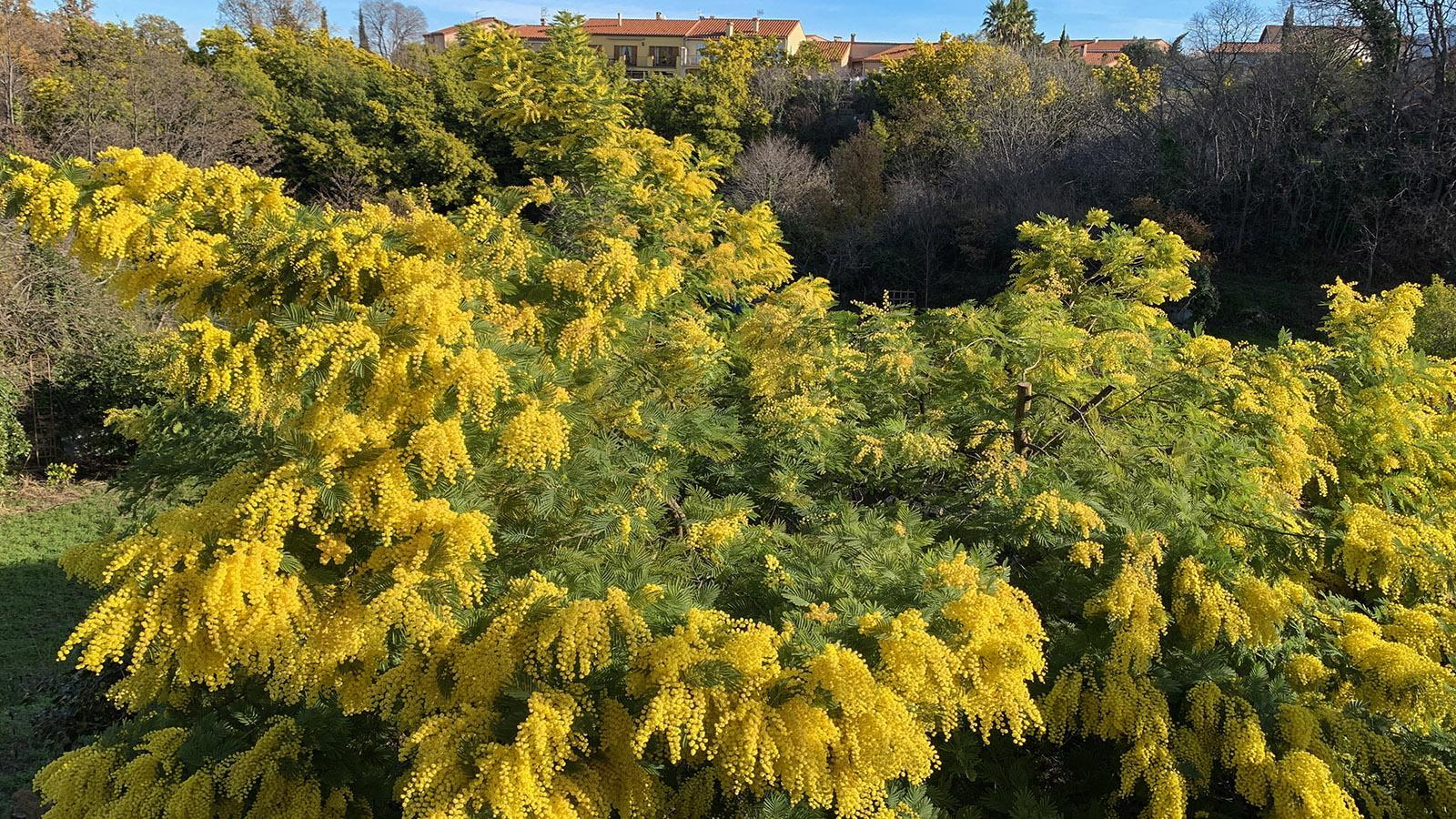 Im Februar blühen die Mimosen in Céret. Foto: Hilke Maunder