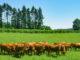 Limousin-Rinder auf der Weide. Foto: Hilke Maunder