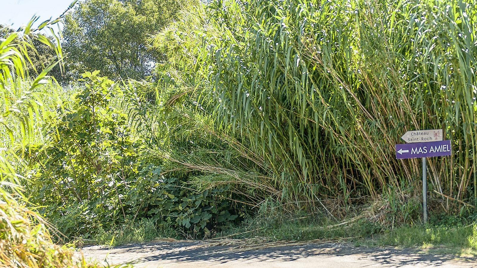 Mas Amiel: Was für eine Zufahrt von der D117 aus! Foto: Hilke Maunder