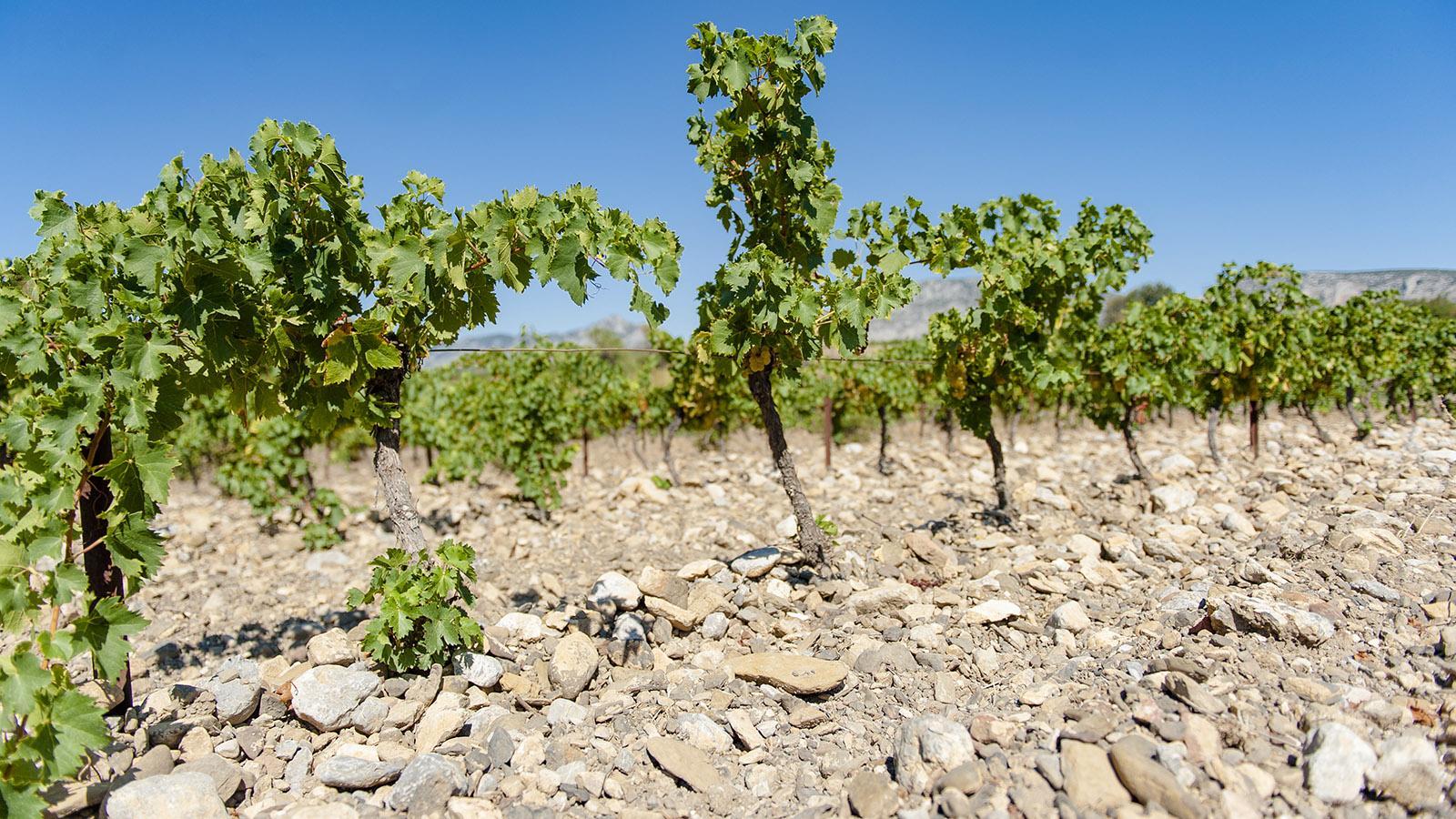 Die Weingärten von Mas Amiel prägt Vielfalt im Boden