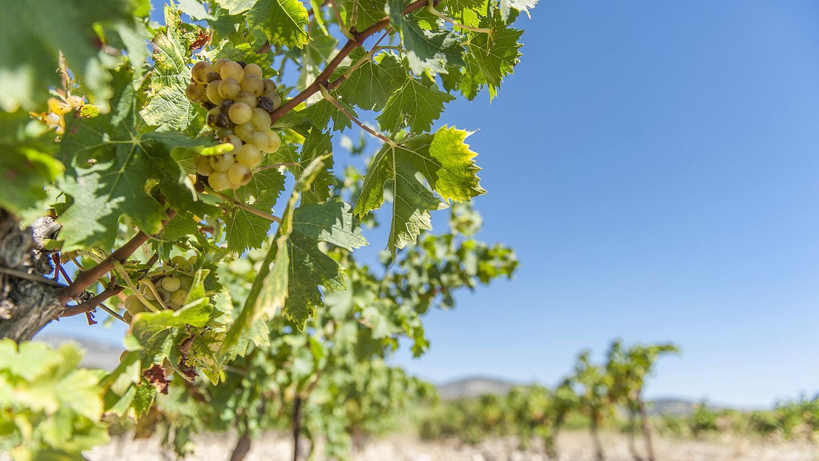Muscat im Weingarten von Mas Amiel. Foto: Hilke Maunder