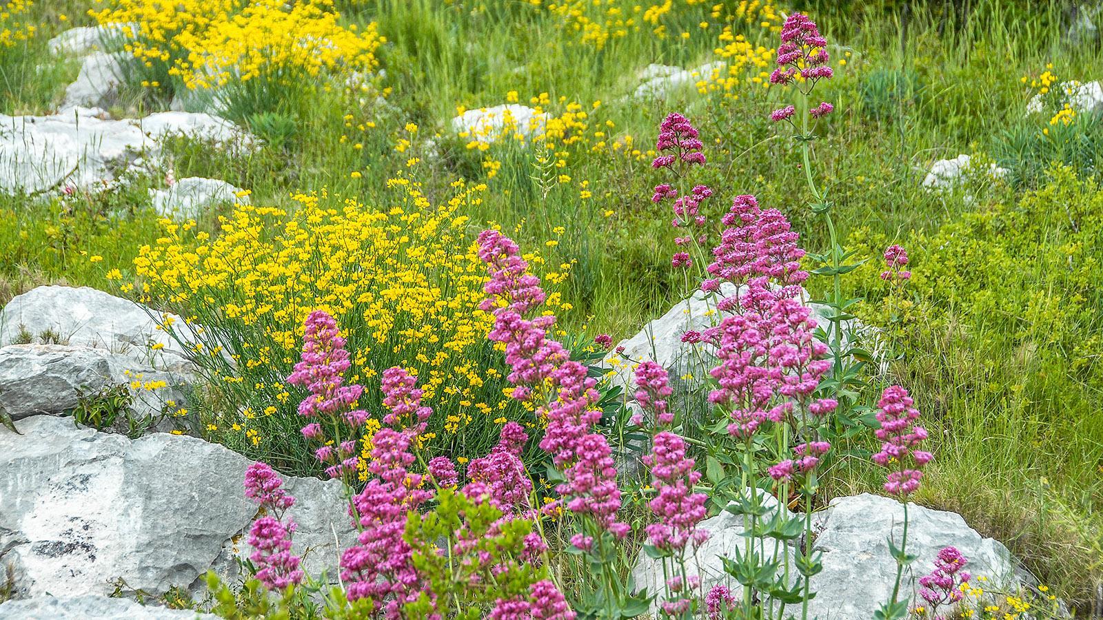 Presqu'Île du Cap Sicié: Flora. Foto: Hilke Maunder