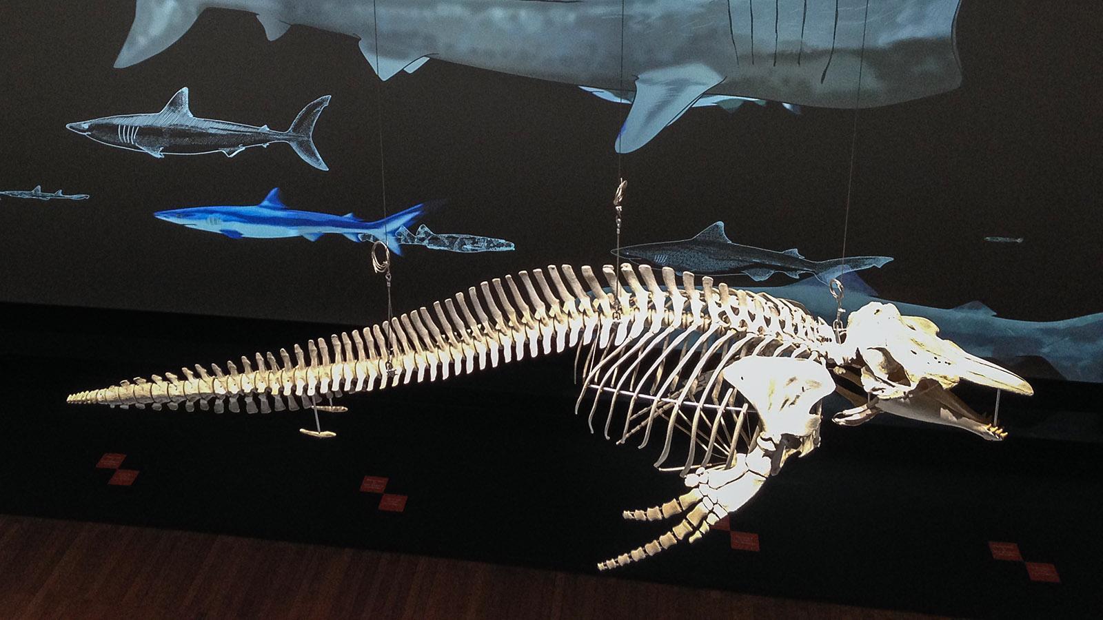 Aquarium: Im Meeresmuseum von Monaco sind auch Skelette der Meeressäuger ausgestellt. Foto: Hilke Maunder