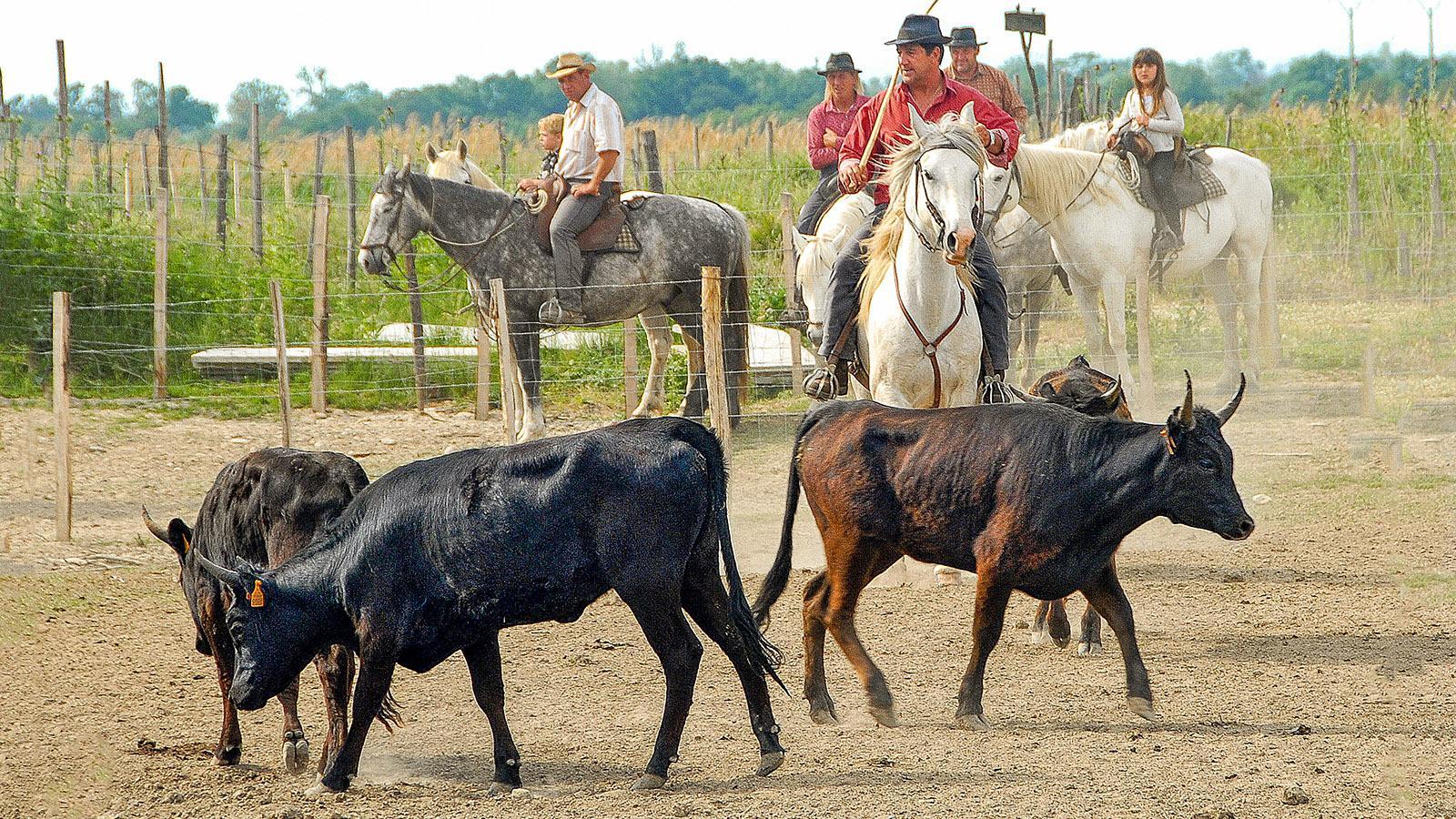 In der Camargue werden Stiere gezüchtet auf Höfen, die sich Manade nennen. Foto: Hilke Maunder
