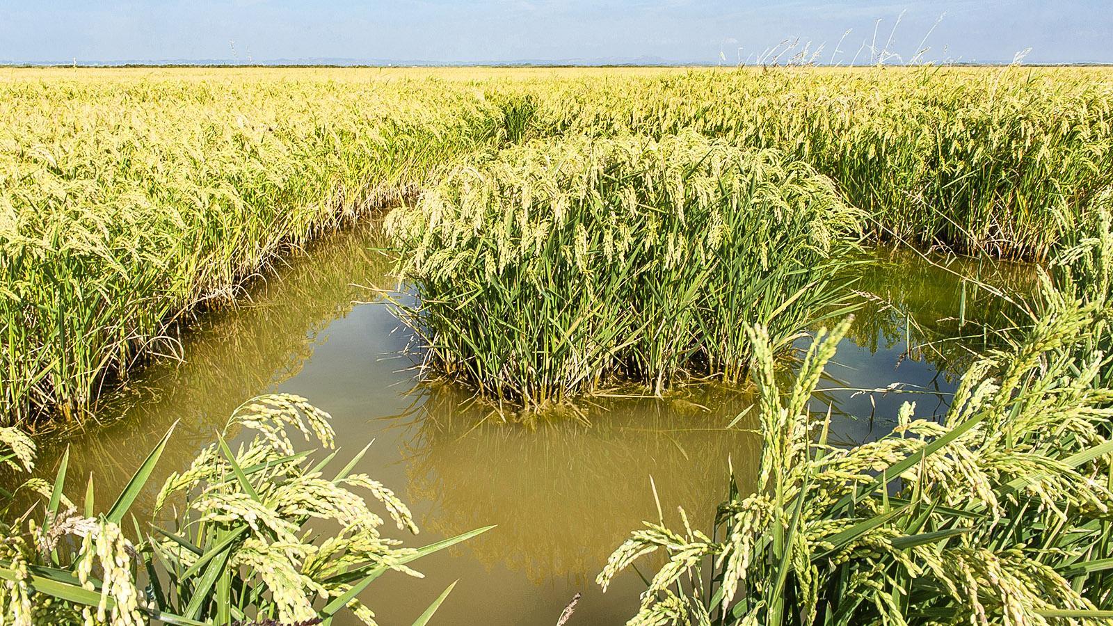 Bis an den Horizont erstrecken sich die Reisfelder. Foto: Hilke Maunder