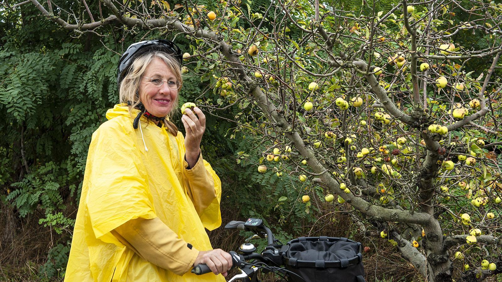 ViaRhôna: Klein, knackig und köstlich: die wilden Äpfel der Île Blaud. Foto: Hilke Maunder