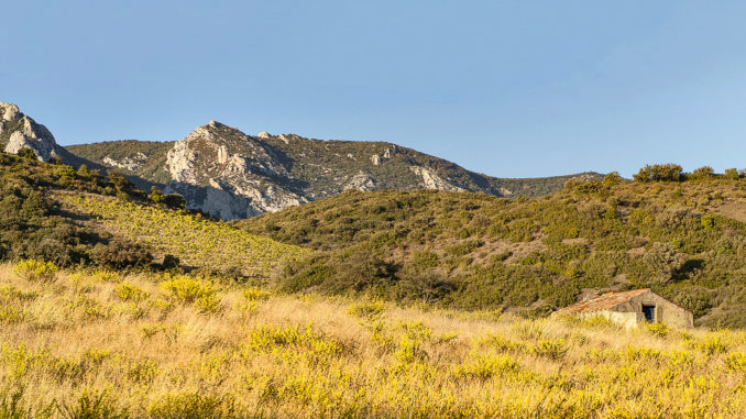 Der Fenouillèdes erhielt seinen Namen vom wilden Fenchel, der hier allerorten wächst. Foto: Hilke Maunder