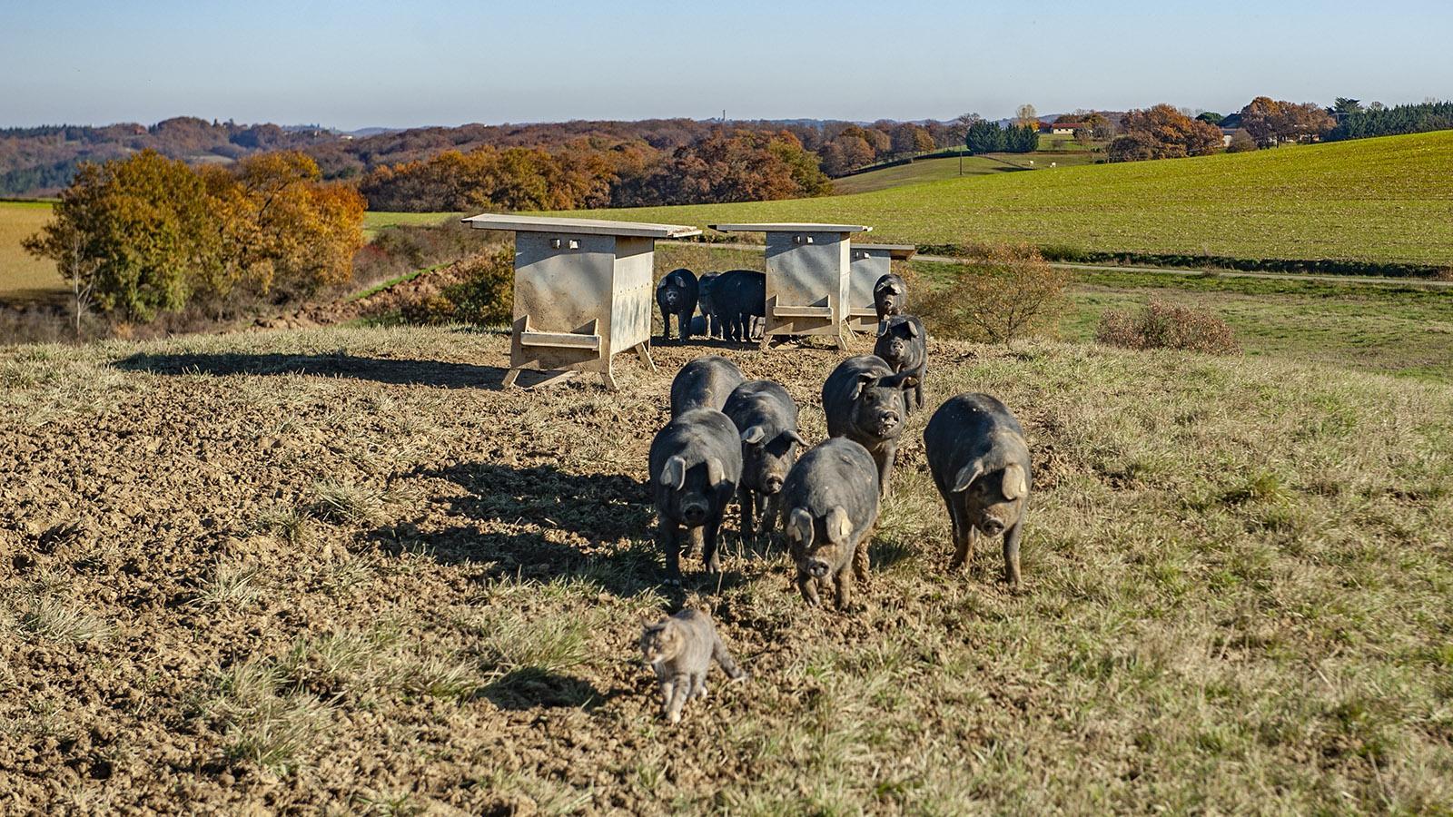 Domaine Rey: Die Hofkatze führt die Schweine an. Foto: Hilke Maunder