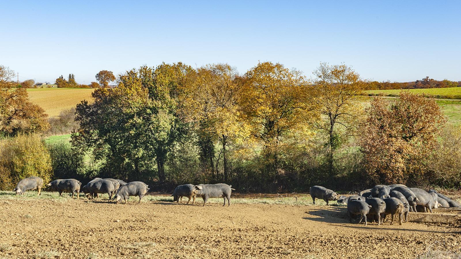 Domaine Rey: Viel Platz, viel Auslauf für die Schweine. Foto: Hilke Maunder