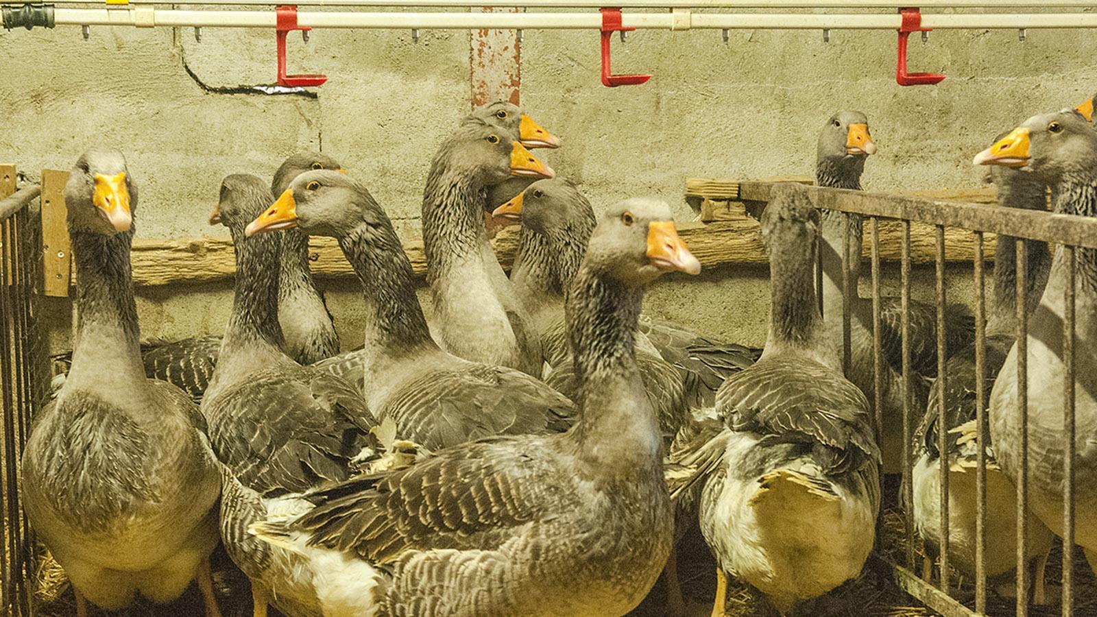 """Foie Gras: Die """"Grauen von Toulouse"""". Foto: Hilke Maunder"""