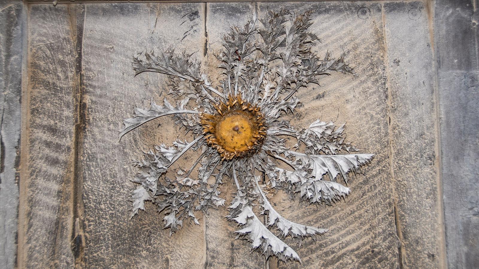 Disteln werden als Barometerpflanzen auf Haustüren genagelt. Foto: Hilke Maunder