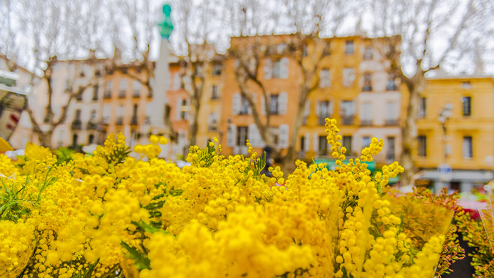 Mimosen - auf dem Blumenmarkt von Aix-en-Provence werden sie verkauft! Foto: Hilke Maunder