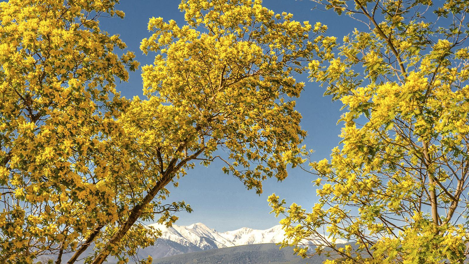 Frühling: Die Mimosen blühen vor der schneebedeckten Kappe des Canigou. Foto: Hilke Maunder