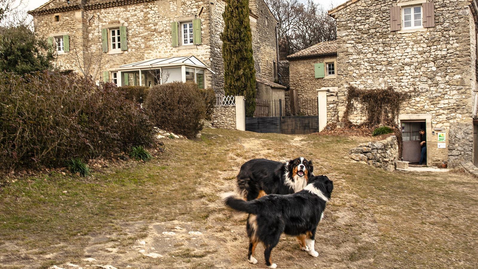Zum Trüffelhof Eybrachas gehören diese beiden Hunde. Foto: Hilke Maunder