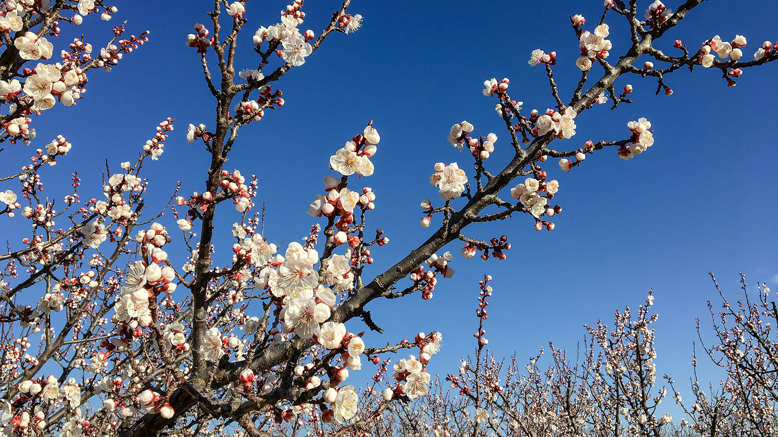 Frühling: Aprikosenblüte bei Monastir del Camp. Foto: Hilke Maunder