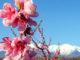 Frühling: Pfirsichblüte im Roussillon. Foto: Hilke Maunder
