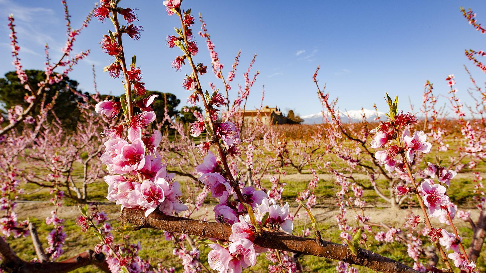 Frühling: Auch Hunderte Pfirsiche blühen bei Monastir del Camp. Foto: Hilke Maunder