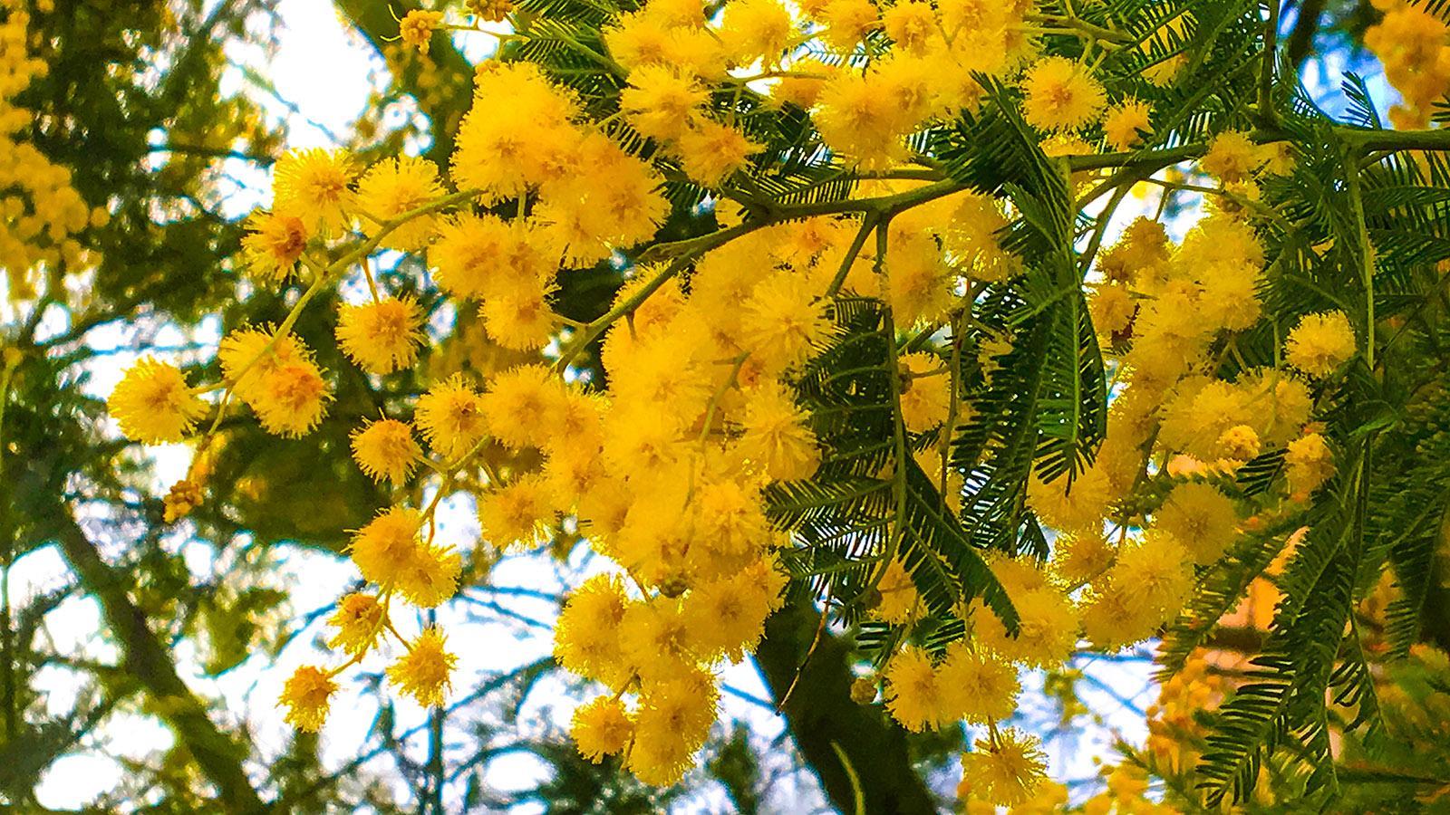 Mimosen: Auch in Latour-de-France in den Ostpyrenäen blühen sie im Winter! Foto: Hilke Maunder