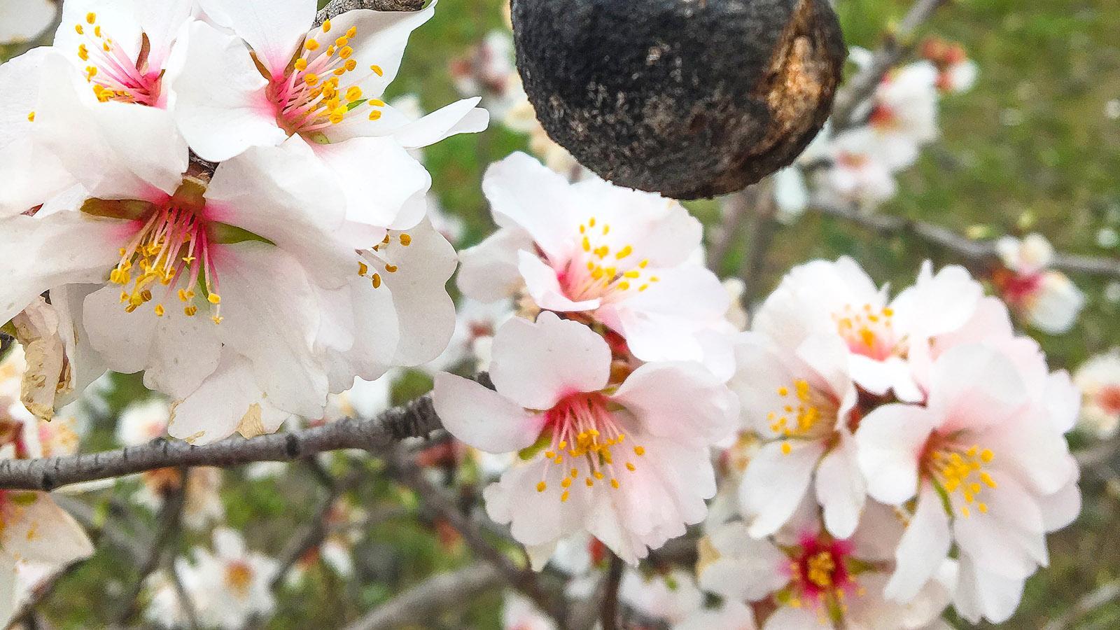 Frühling: Süßmandel in Blüte. Foto: Hilke Maunder