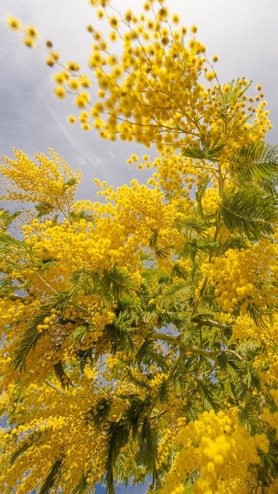 Mimosen-Blüte in Taurinya im Schatten des Canigou. Foto: Hilke Maunder
