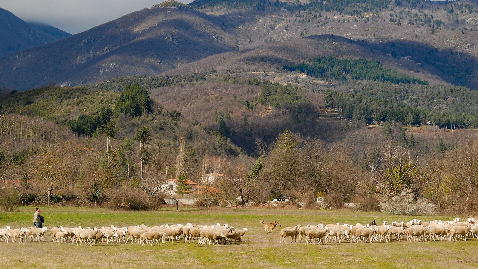 Weidende Schafe in den Cevennen. Foto: Hilke Maunder