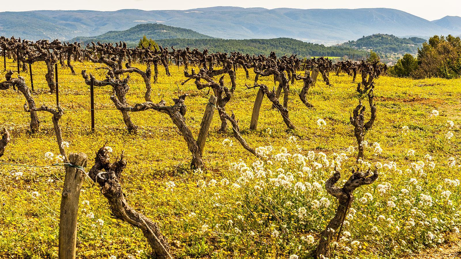 Frühling in den Weinbergen des Luberon. Foto: Hilke Maunder