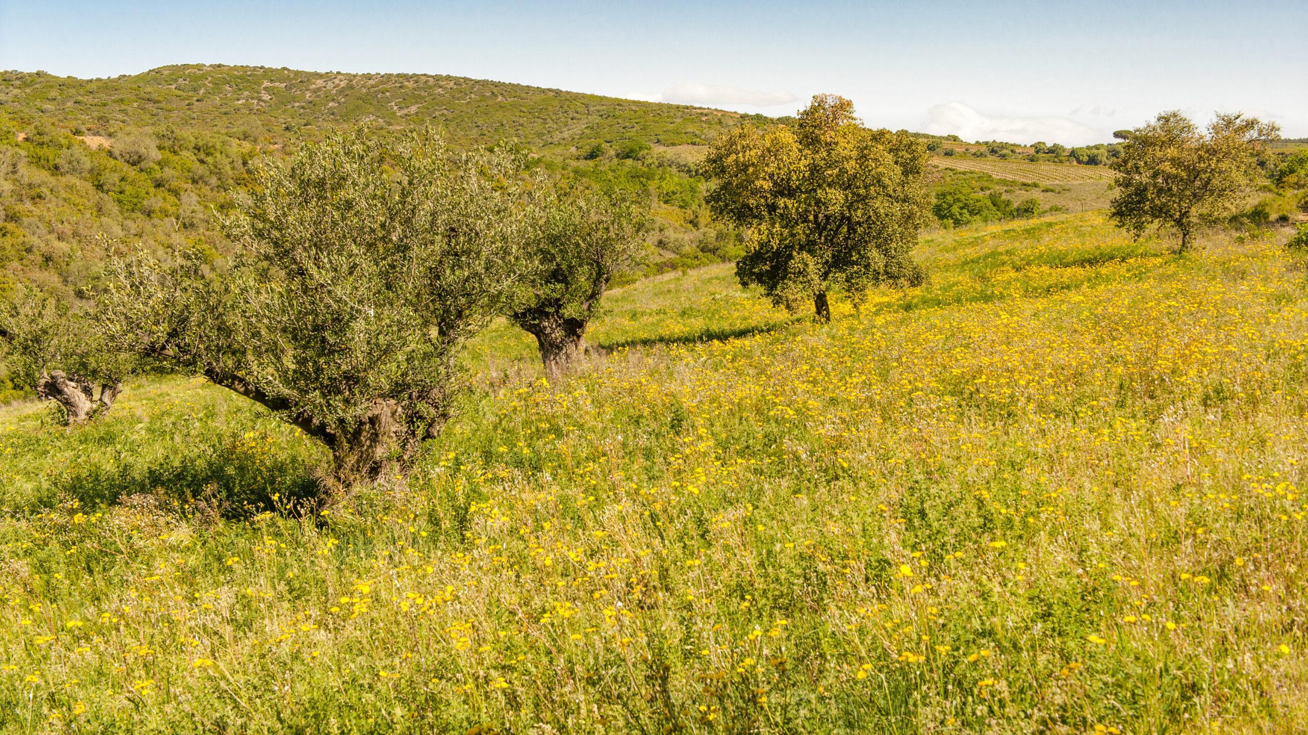 Der Olivenhain der Moulin de Canterrane. Foto: Hilke Maunder