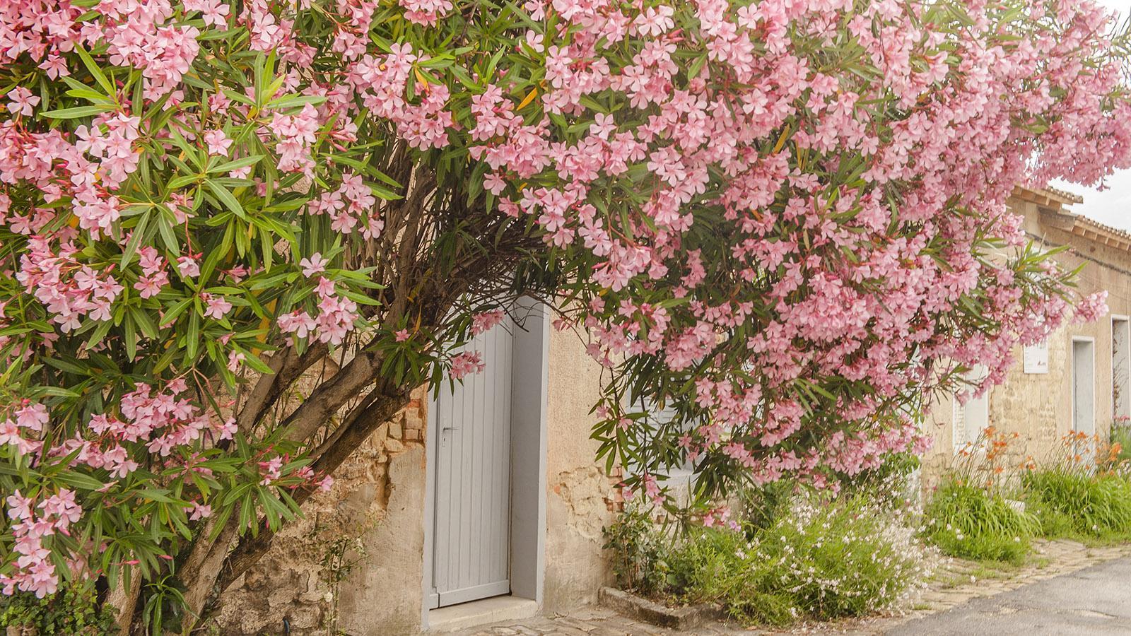 Der Oleander blüht auch in der Zitdalle von Blaye. Foto: Hilke Maunder