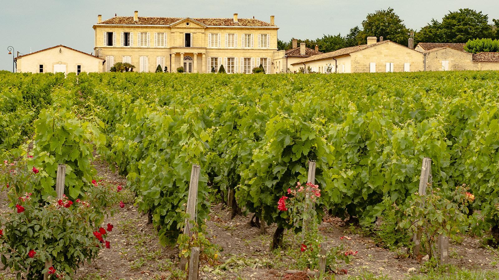 Médoc: Rosen sind Frühindikatoren - sie zeigen, ob Schädlinge die Weine befallen werden. Foto: Hilke Maunder