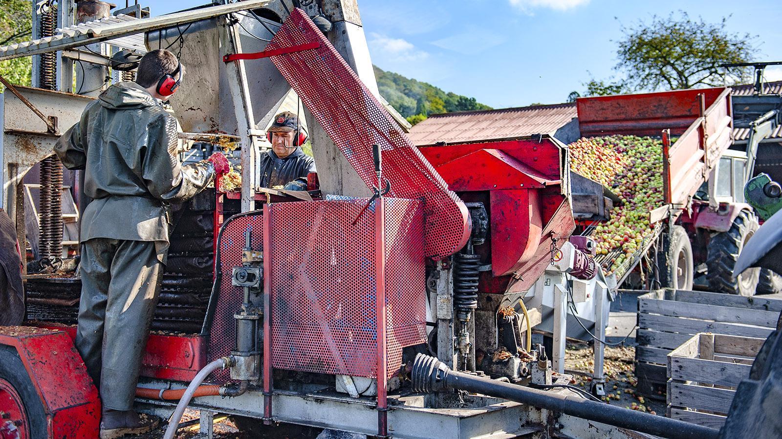 Cidre-Herstellung: Die geernteten Äpfel werden vorsortiert und gehäckselt. Foto: Hilke Maunder