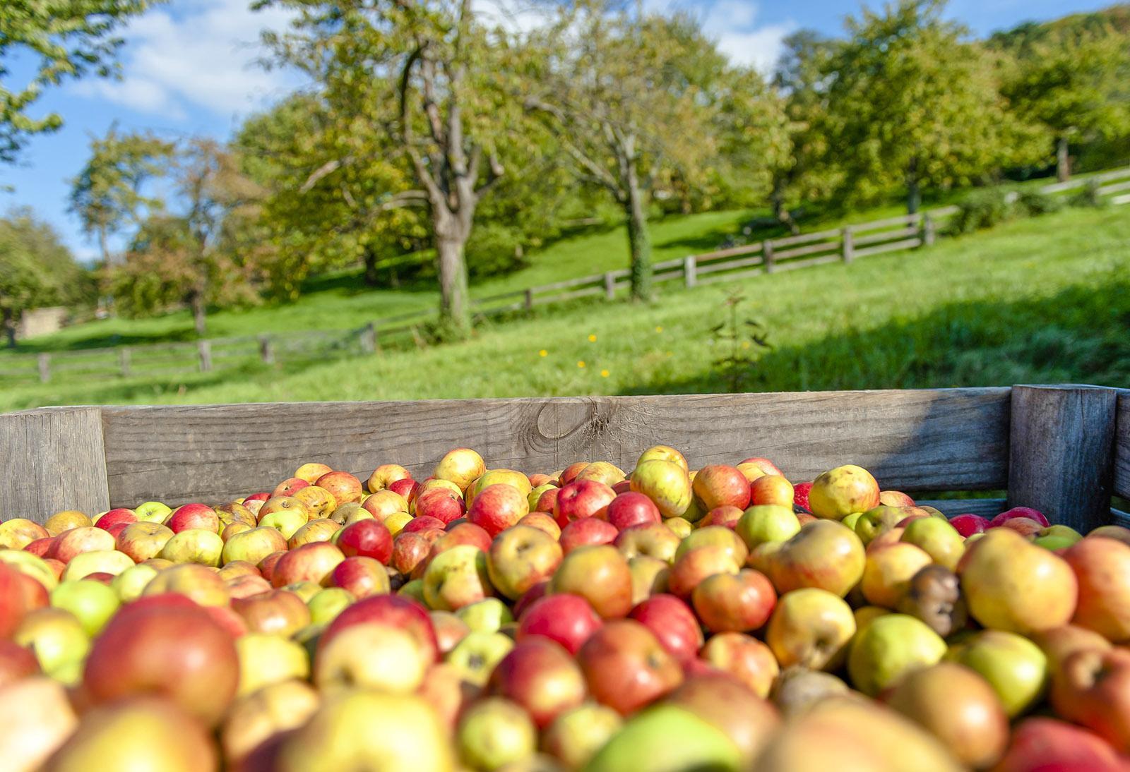 Alte Apfelsorten wandern in den Cidre. Foto: Hilke Maunder