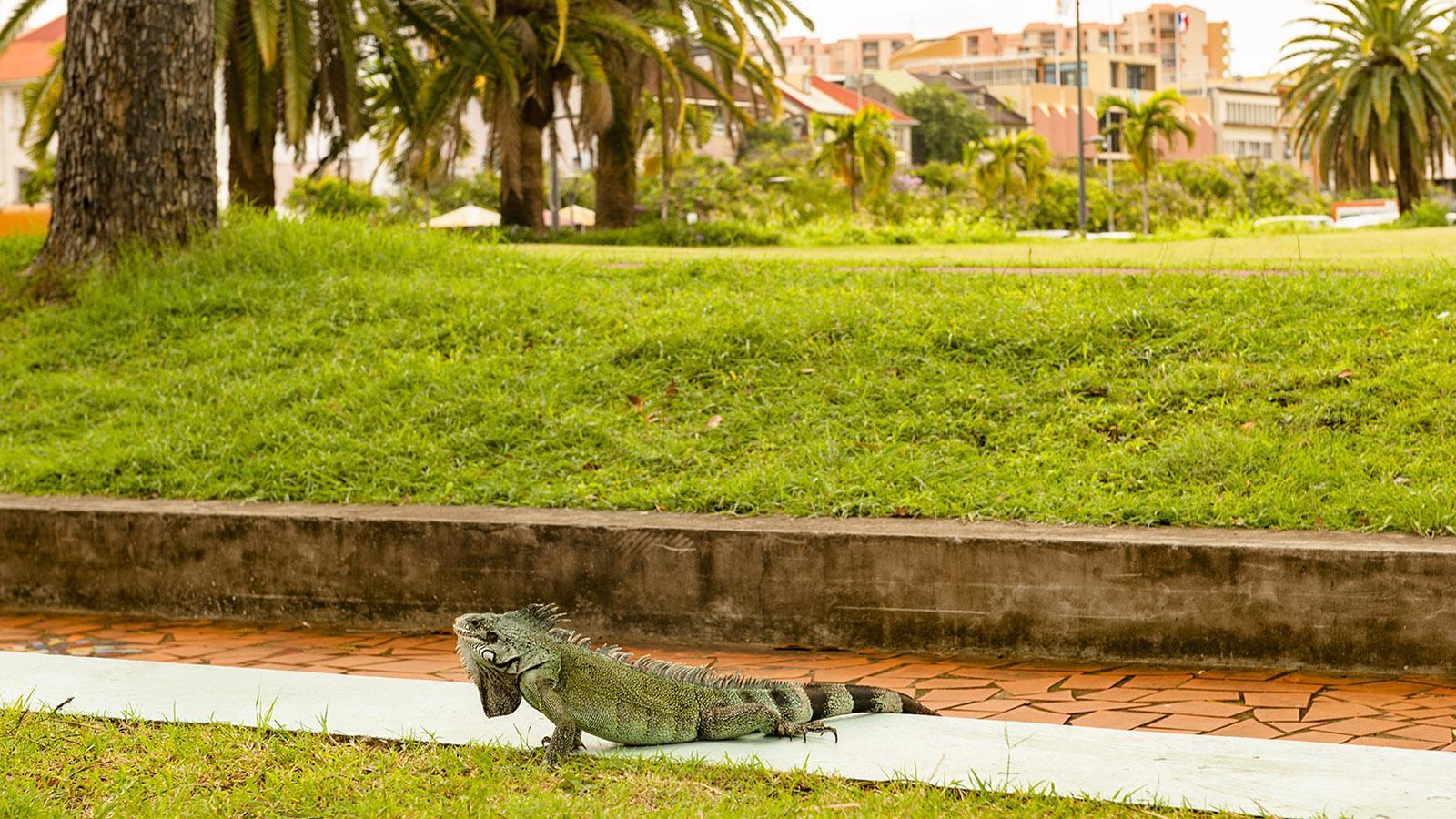 Auch tierische Inselbewohner wie dieser Grüne Leguan leben in der Hauptstadt Fort-de-France. Am Savannenplatz ist dieses Exemplar oft zu sehen. Foto. Hilke Maunder