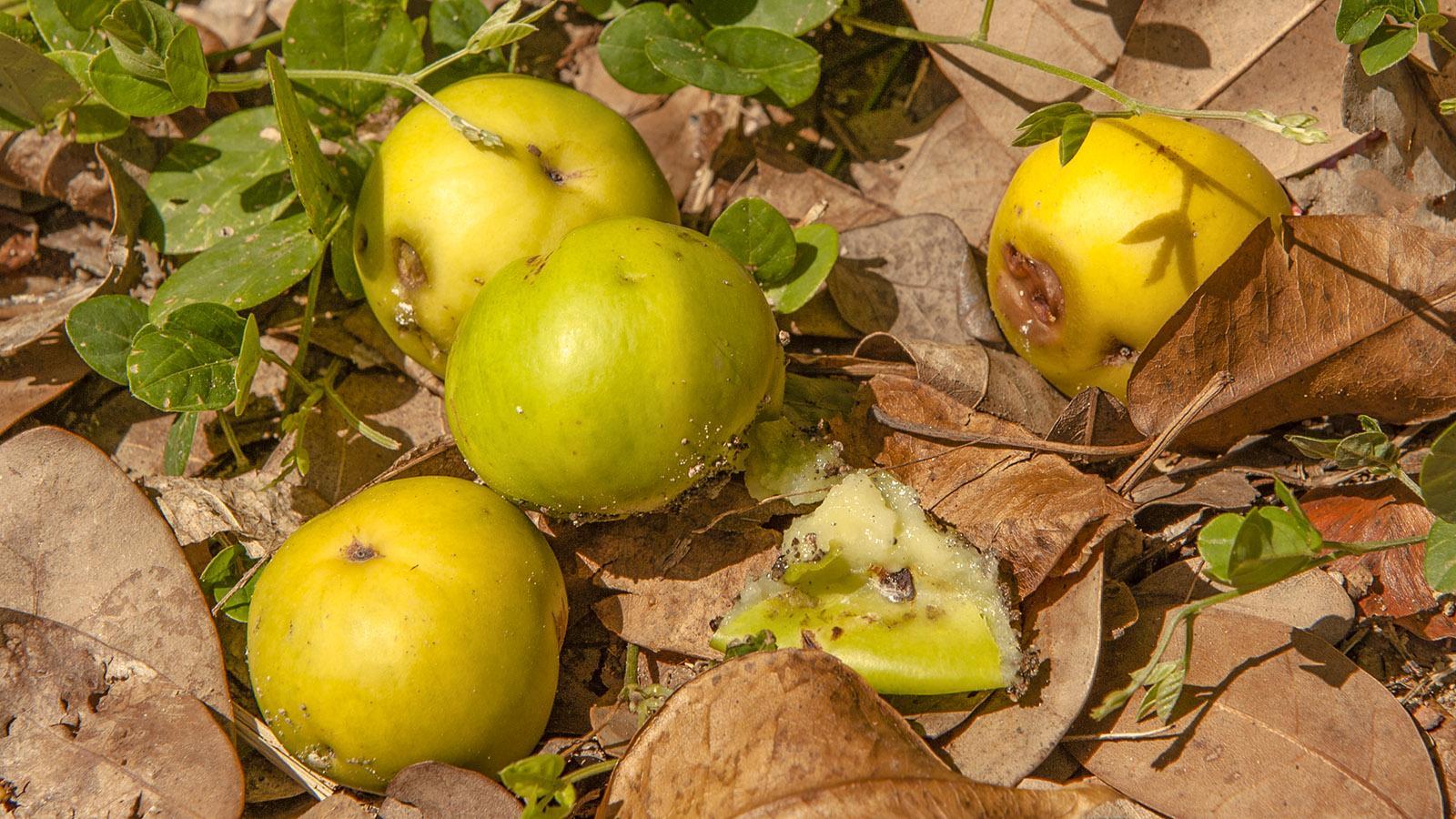 NSG Caravelle. Die Äpfel des Manchineelbaumes sind hochgiftig! Foto: Hilke Maunder