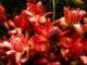 Martinique: Porzellanrose im Regenwald im Norden von Martinique bei der Montagne Pelée. Foto: Hilke Maunder