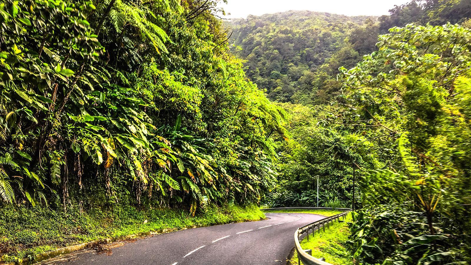 Dichter Urwald prägt den Norden von Martinique. Für Tante Arlette müssen wir dort hindurch. Foto: Hilke Maunder