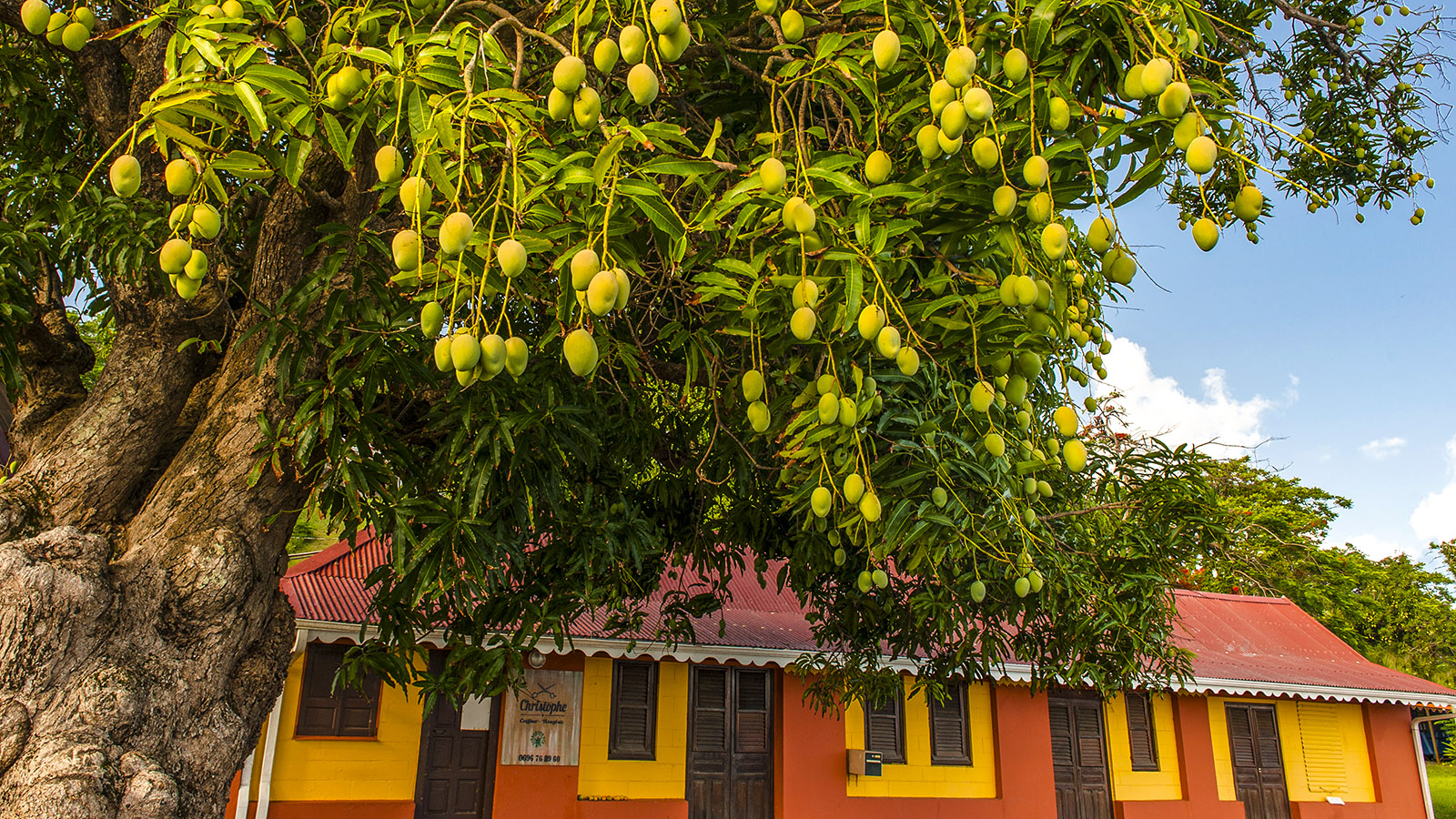Martinique: Mangos in Tartane. Foto: Hilke Maunder