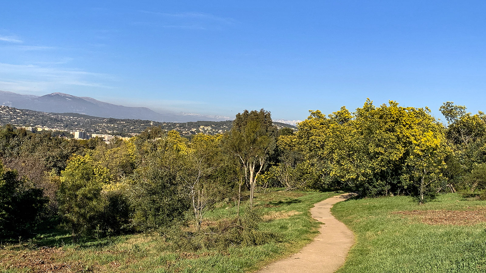 Cannes: Im Naturpark Croix des Gardes blühen im Februar unzählige Mimosen. Foto: Hilke Maunder
