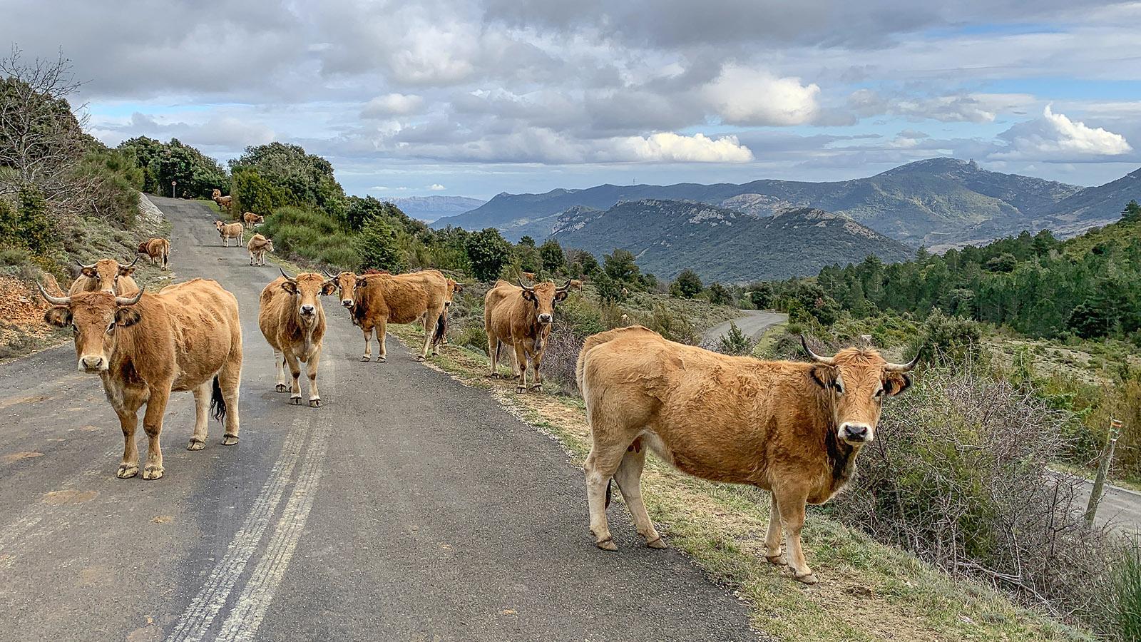 Peyrepertuse: Unterhalb der Burg weiden frei die Rinder – Achtung bei der Auffahrt! Foto: Hilke Maunder