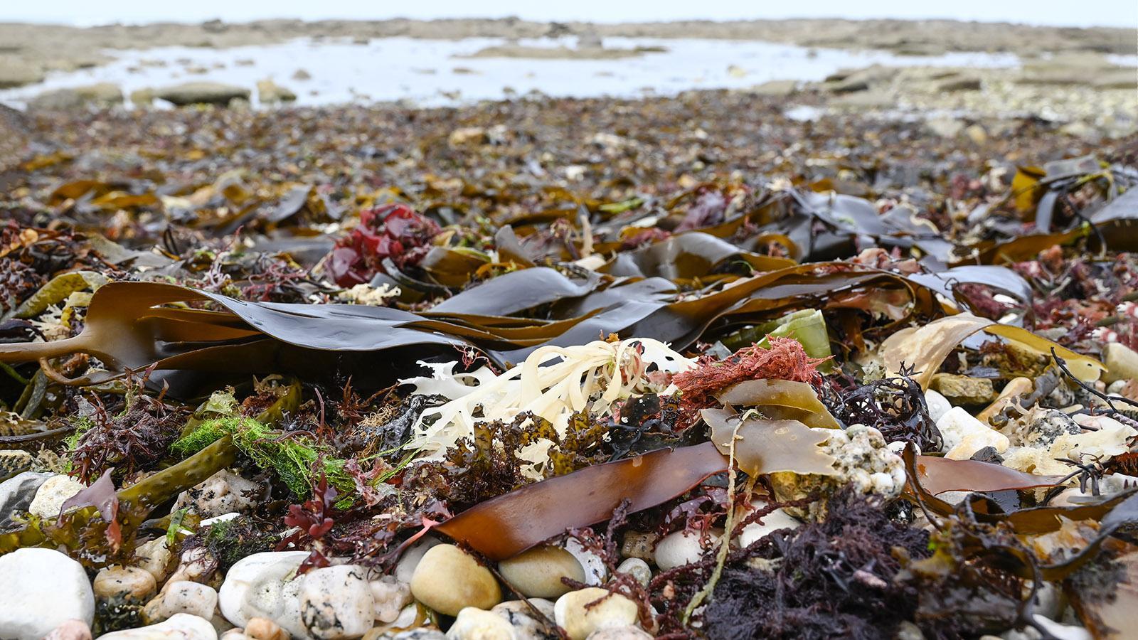 Algen - wertvoller Rohstoff aus dem Atlantik. Foto. Hilke Maunder