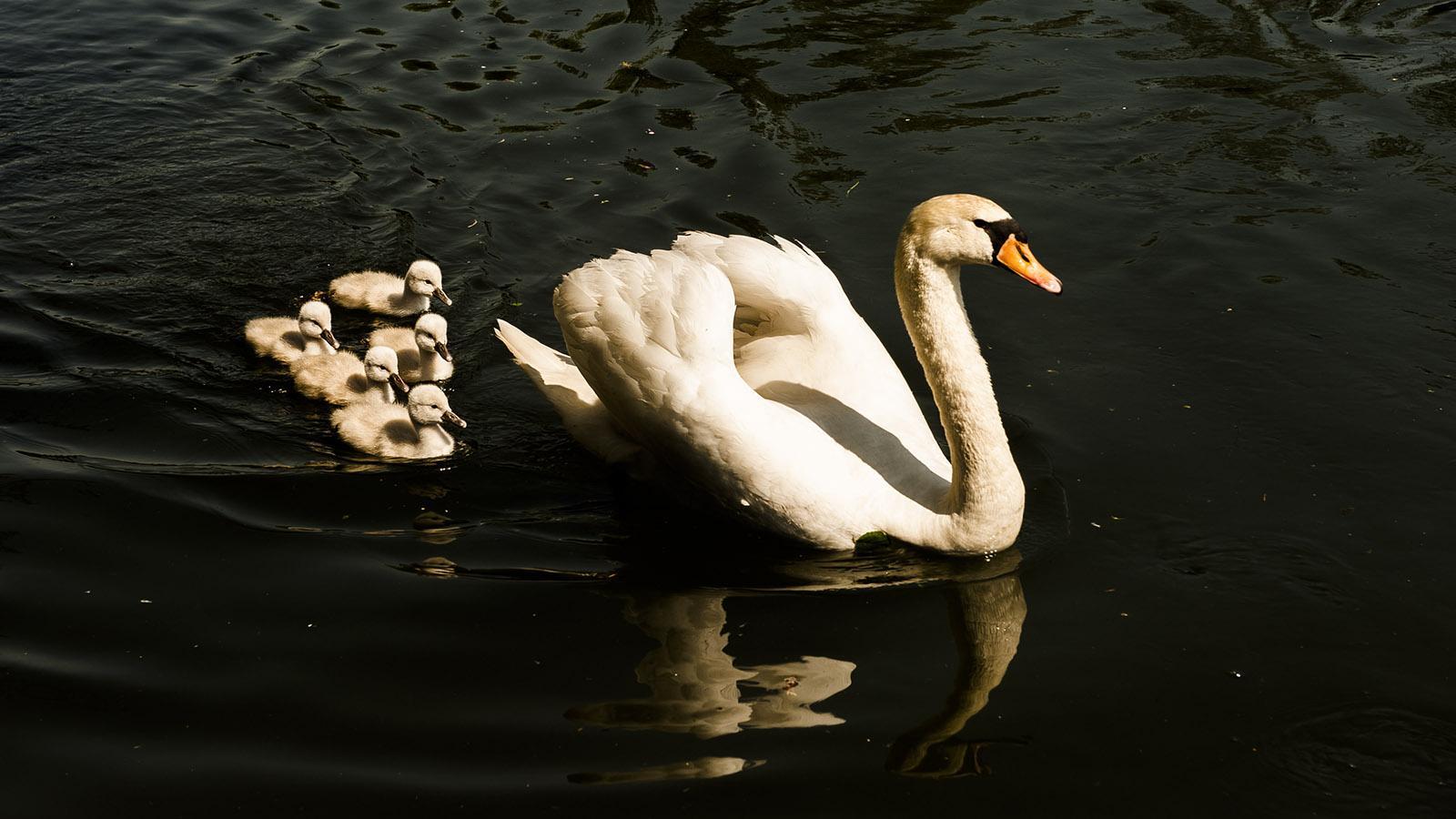 Besuch von einer Schwanenmutter mit Nachwuchs. Foto: Hilke Maunder