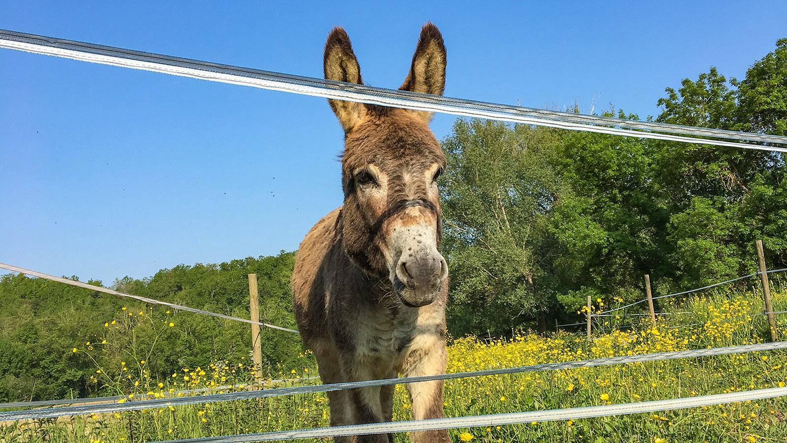 Der Esel von Saint-Simeux. Foto: Hilke Maunder