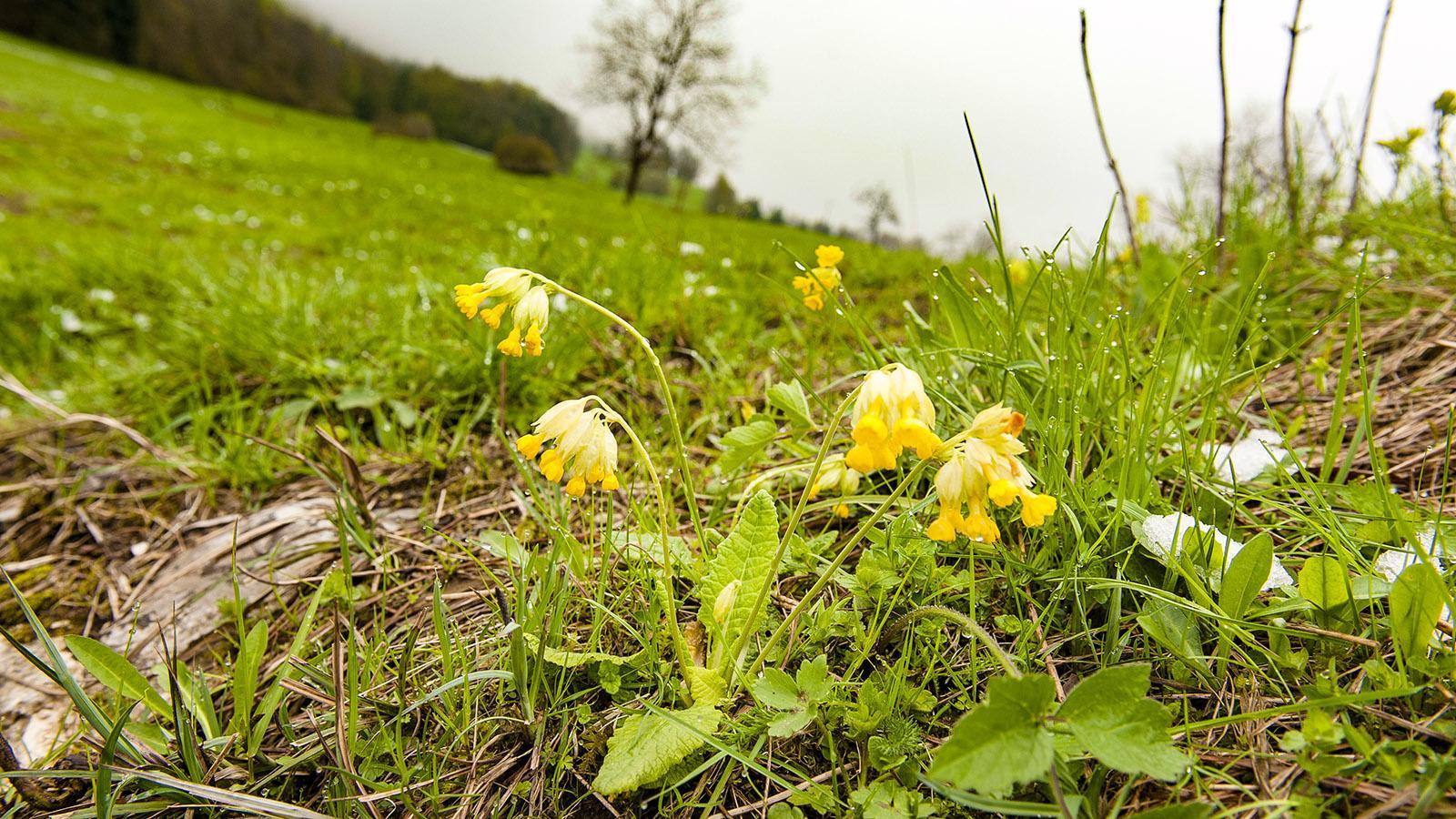 Ende April blühen im regionalen Naturpark Chartreuse allerorten die Schlüsselblumen. Foto: Hilke Maunder