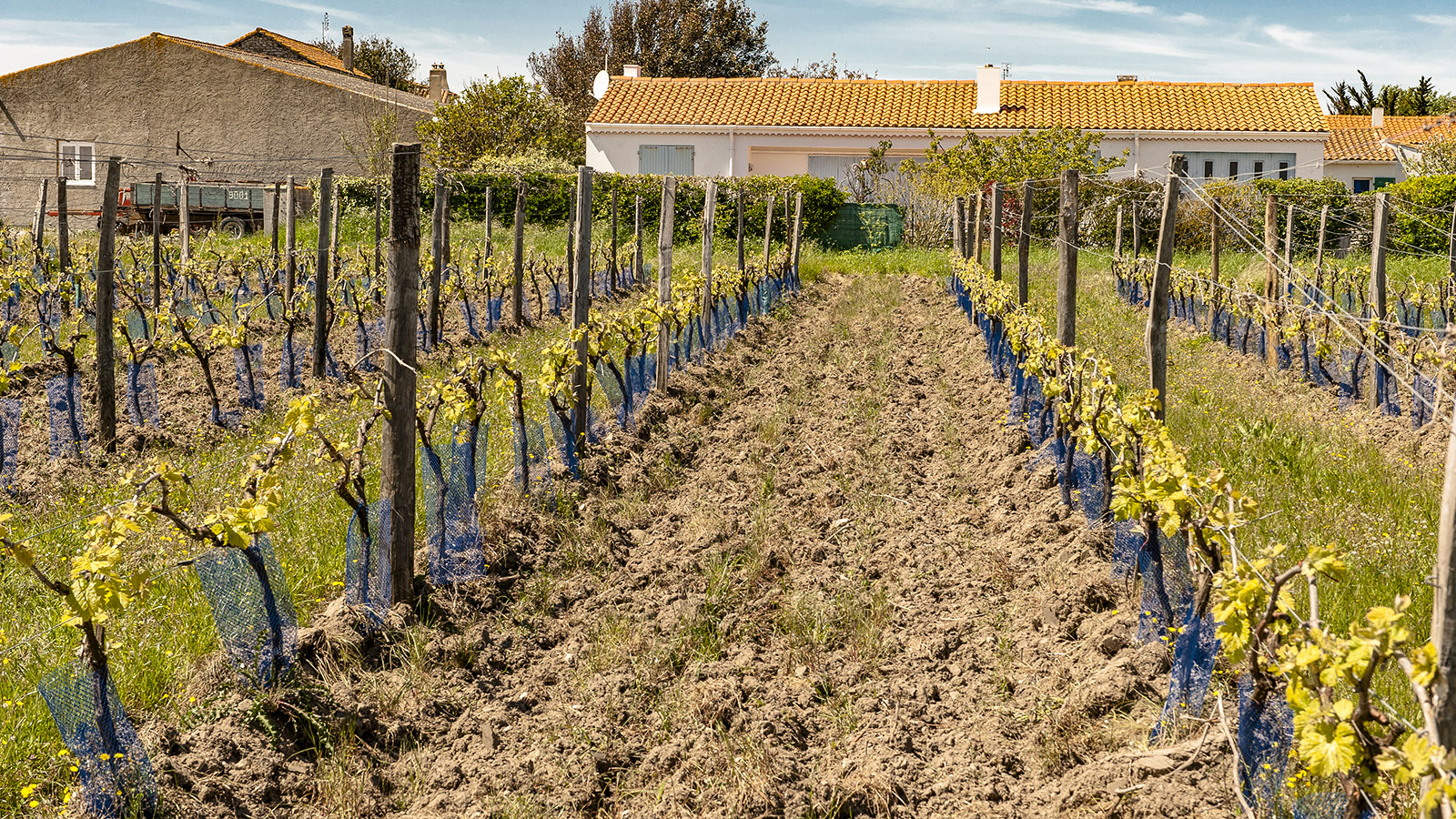 Weinbau auf der Île de Ré. Foto: Hilke Maunder