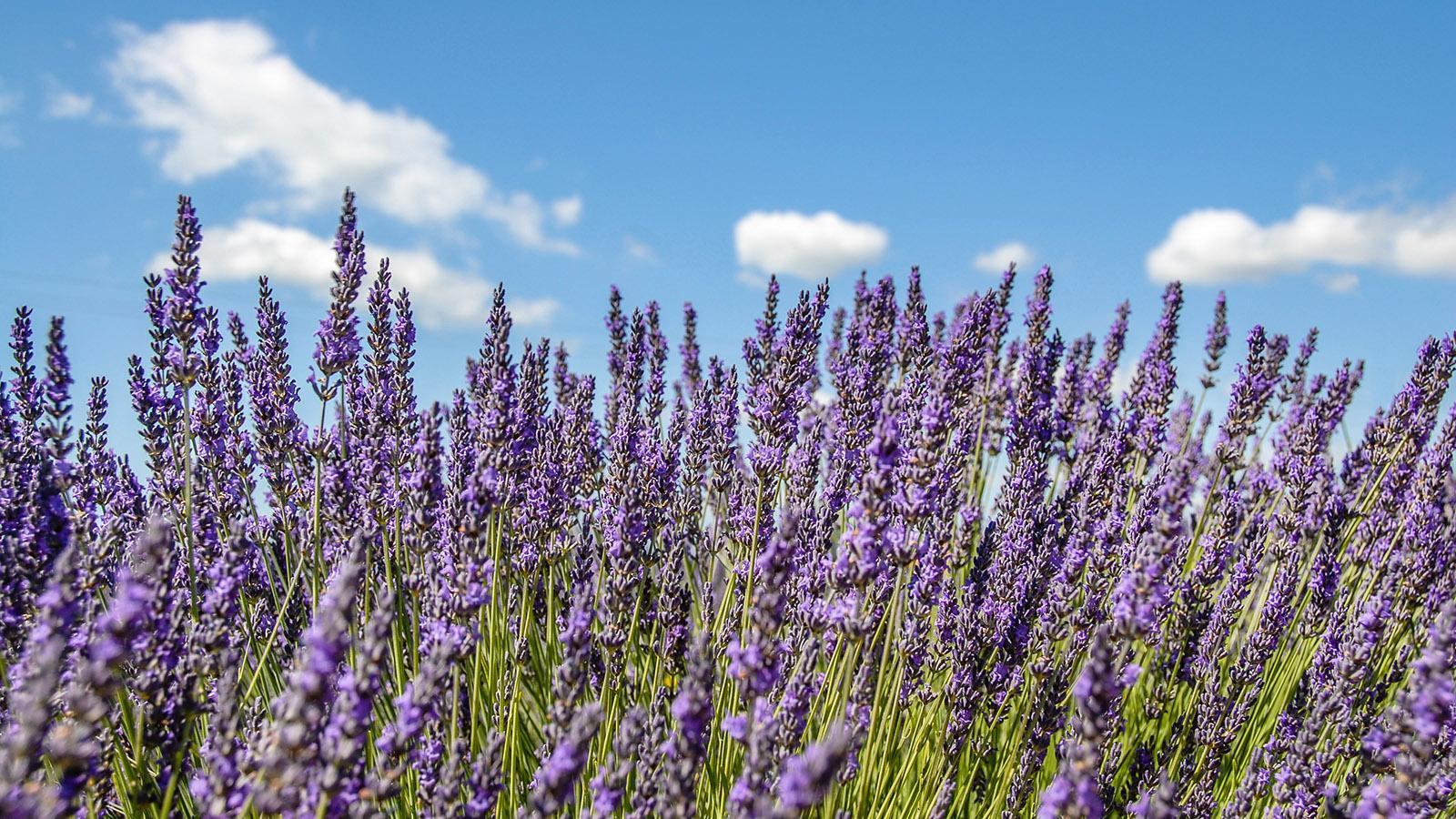 Lavendel-Anbau auf dem Plateau von Valensole. Foto: Hilke Maunder