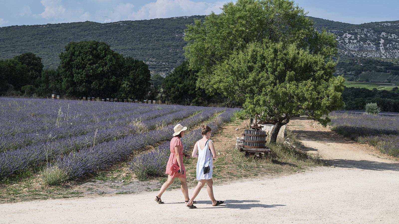 Herrlich - ein Spaziergang durch die Lavendelfelder während der Blüte im Juli. Foto: Hilke Maunder