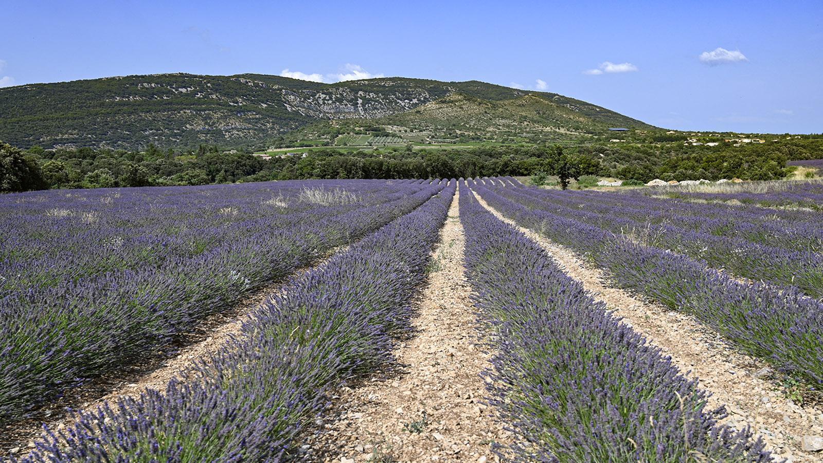 Auch nahe der Ardèche-Schlucht gibt es noch Lavendel-Felder. Foto: Hilke Maunder