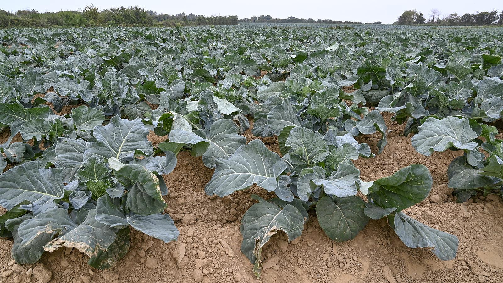 Cotentin: Die sandigen Böden des Saire-Tales werden für den Gemüseanbau genutzt. Neben Kohl in vielen Arten werden auch Zwiebeln dort gezogen. Foto: Hilke Maunder