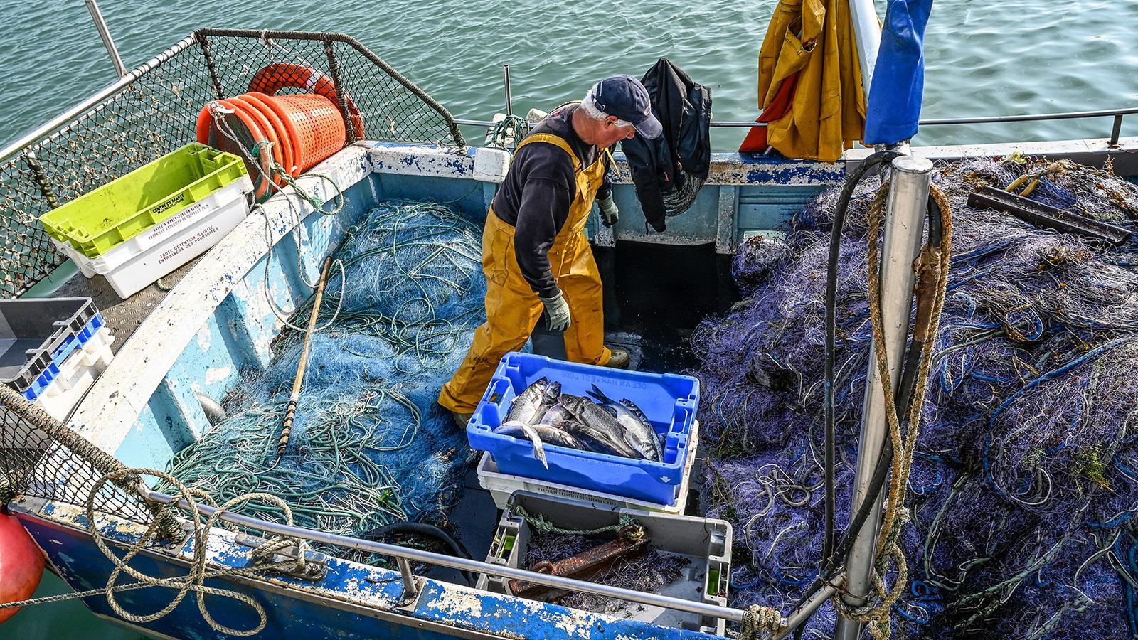Ein Fischer hat den Barsch aus den Netzen befreit und verkauft ihn jetzt ab Kutter in Saint-Vaast-la-Hougue