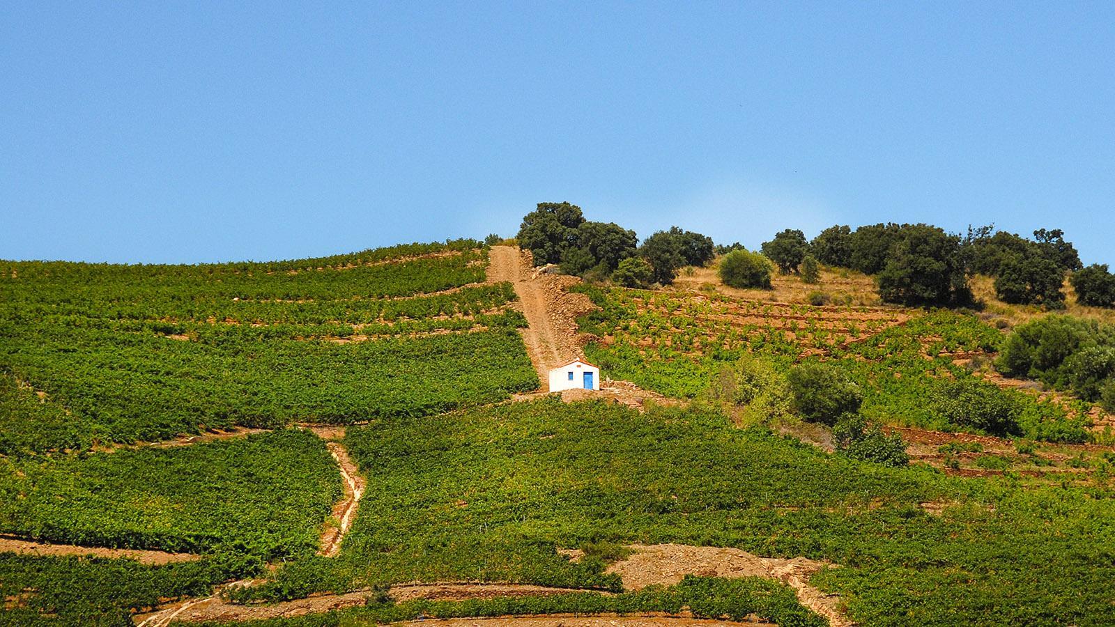 Bei Banyuls ist der Weinanbau bis heute kaum mechanisiert. Foto: Hilke Maunder